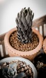 Cactus in earthenware Royalty Free Stock Images