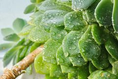 Cactus Echeveria water droplets on leaves. House plants Stock Image