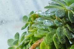 Cactus Echeveria water droplets on leaves. House plants Royalty Free Stock Photography