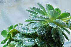 Cactus Echeveria water droplets on leaves. House plants Royalty Free Stock Image