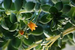 Cactus Echeveria water droplets on leaves. House plants Stock Photos