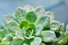 Cactus Echeveria water droplets on leaves. House plants Stock Photography