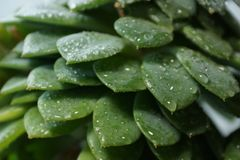 Cactus Echeveria water droplets on leaves. House plants Stock Images
