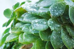 Cactus Echeveria water droplets on leaves. House plants Royalty Free Stock Photos