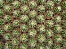 Cactus (Echinocactus) Immagini Stock