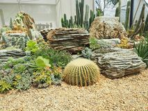 Cactus & x28;Echinocactus grusonii & x29;in garden. Cactus echinocactus grusonii garden flower royalty free stock photography