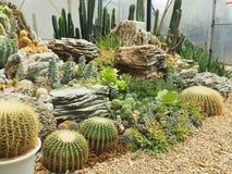 Cactus & x28;Echinocactus grusonii & x29;in garden. Cactus echinocactus grusonii garden flower royalty free stock image