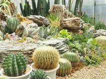 Cactus & x28;Echinocactus grusonii & x29;in garden. Cactus echinocactus grusonii garden flower royalty free stock photos