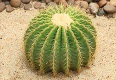 Cactus: Echinocactus grusonii Stock Image