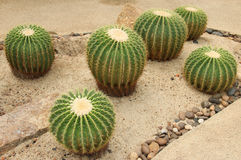 Cactus: Echinocactus grusonii. The Golden ball cactus (Echinocactus grusonii royalty free stock photography