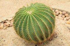 Cactus: Echinocactus grusonii. The Golden ball cactus (Echinocactus grusonii royalty free stock images