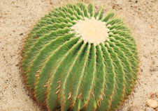 Cactus: Echinocactus grusonii Stock Photography