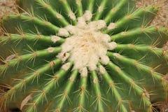 Cactus: Echinocactus grusonii Stock Photo