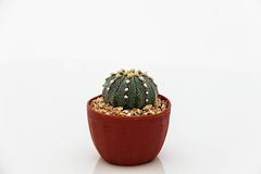 Cactus Echinocactus royalty free stock photo