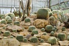 Cactus ,Echinopsis Royalty Free Stock Photography