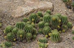 Cactus ,Echinopsis Royalty Free Stock Photo