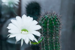 Cactus echinopsis blooms Stock Photos