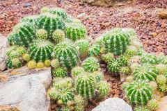 Cactus - Echinopsis calochlora (Cactaceae) Stock Photo