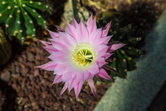 Cactus Echinopsis Flower Royalty Free Stock Images