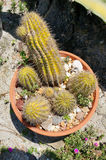 Cactus (Echinopsis mamillosa) taken in florida Stock Photo