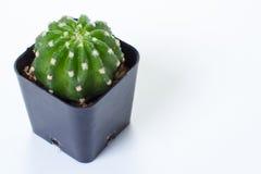 The cactus: Echinopsis subdenudata Stock Photo