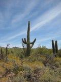 Cactus 1 dell'Arizona Immagine Stock