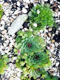 Cactus ed erbe succulenti all'aperto nelle rocce immagine stock libera da diritti