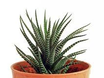 Cactus in een bloempot stock afbeeldingen