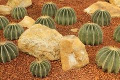 Cactus in een Cactustuin Stock Fotografie