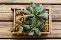 Cactus in een houten vakje op een houten lijst Stock Foto's