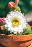 Cactus in een kruik royalty-vrije stock afbeeldingen