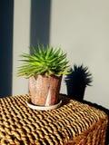 Cactus in een pot stock afbeelding