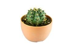 Cactus in een pot Royalty-vrije Stock Fotografie