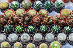 Cactus in een pot Royalty-vrije Stock Afbeelding