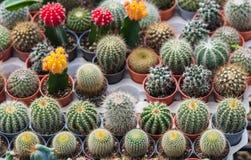 Cactus in een pot Royalty-vrije Stock Foto