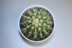 Cactus in een pot Stock Fotografie