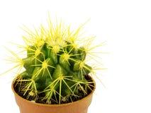 Cactus in een pot op een witte achtergrond Royalty-vrije Stock Foto's