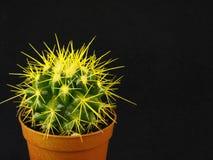 Cactus in een pot op een zwarte achtergrond Stock Foto