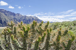 Cactus en Arequipa Perú Imagen de archivo
