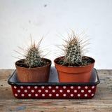 cactus 2 en bandeja punteada foto de archivo