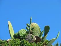 Cactus en blauwe hemel Stock Afbeeldingen