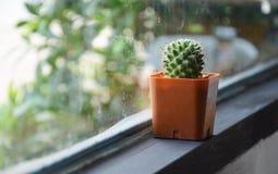 Cactus en café Photos libres de droits