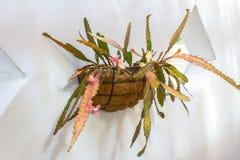 Cactus en cesta de la pared con las flores rosadas Foto de archivo libre de regalías