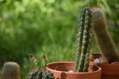 Cactus en conserva Imagenes de archivo