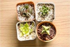 Cactus en conserva cuatro Imagen de archivo libre de regalías