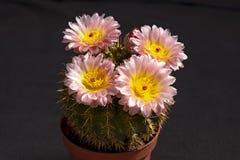 Cactus en conserva de Parodia con rosa y las flores amarillas fotografía de archivo libre de regalías
