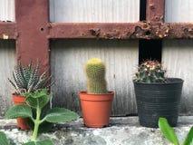 Cactus en crisoles foto de archivo