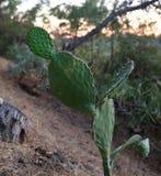 Cactus en cuesta al aire libre Imagen de archivo