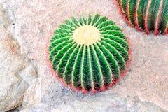 Cactus en desierto Imagen de archivo libre de regalías