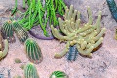 Cactus en desierto Imágenes de archivo libres de regalías